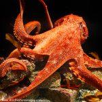Erkenning voor octopus Rabio